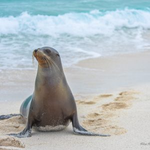 a photograph of a sea lion on a beach taken in Ecuador, by phorographer Kilias Hung