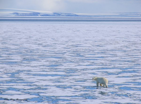A photograph of a Polar bear in an ice scene taken in the Arctic, by Kilias Hung