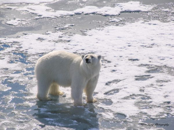 A photograph of a Polar bear on the ice taken in the Arctic, by Kilias Hung
