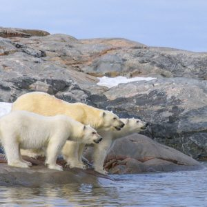Three polar bear on the rock